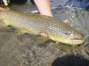 matts-24_-thick-bow-river-brown-trout29182